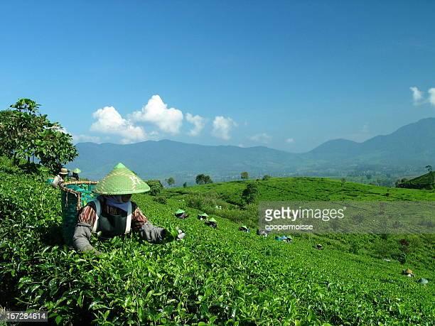 Java, Tea Picker in Indonesien