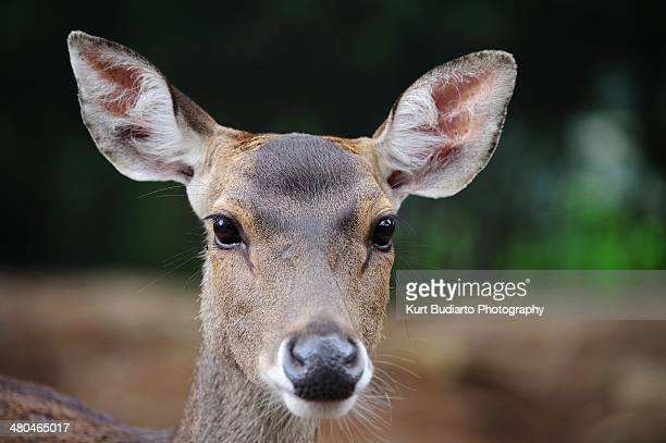 javan deer closeup. - biche photos et images de collection