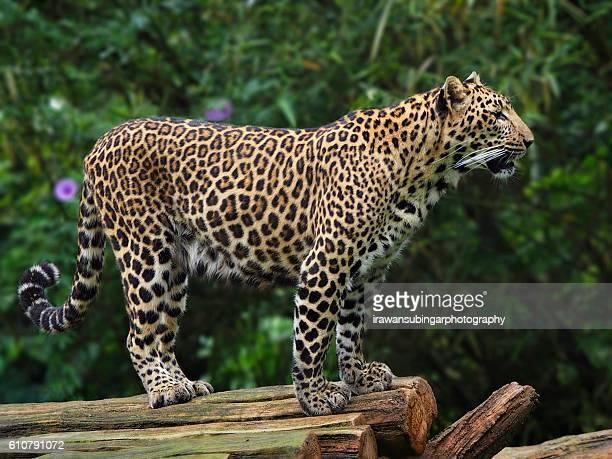 Javan Leopard aka Macan Tutul Jawa aka Panthera Pardus Melas