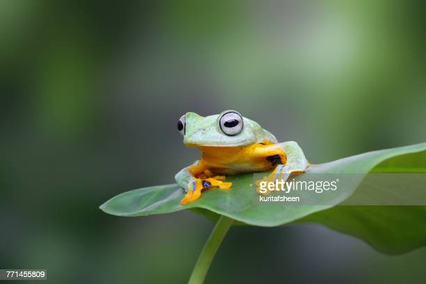 javan tree frog on a leaf, indonesia - tree frog stock pictures, royalty-free photos & images