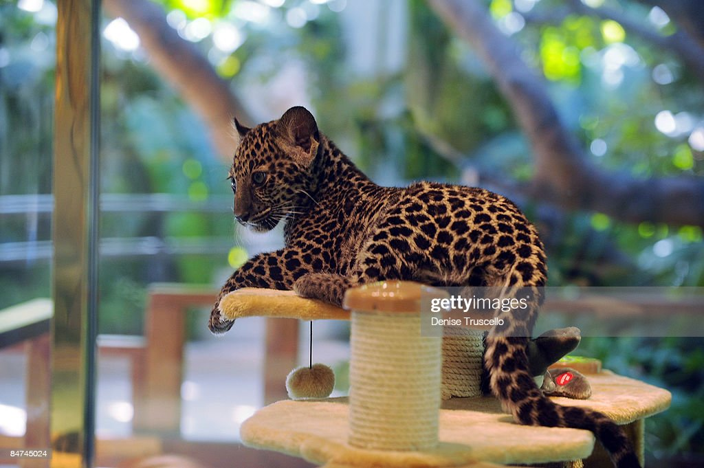 jave the new leopard cub arrives at siegfried and roys secret garden at the mirage hotel - Siegfried And Roy Secret Garden