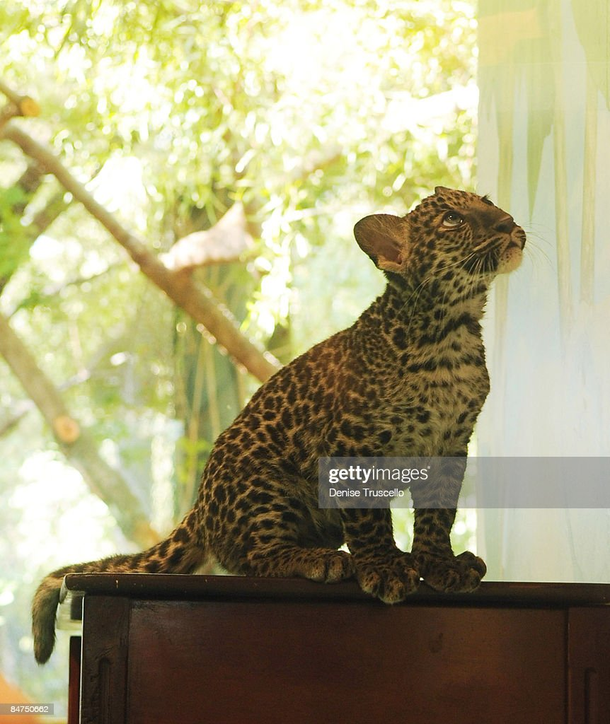 The Mirage Welcomes Java The New Leopard Cub At Siegfried And Roy\'s ...