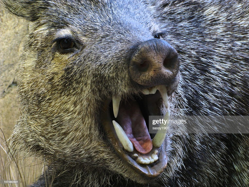Javelina Angry Boar Pig Peccary Fangs : Stock Photo