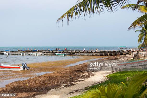 Javier Rojo Gomez Beach in the Sian Ka'an Biosphere Reserve coated with thick seaweed on July 17 2015