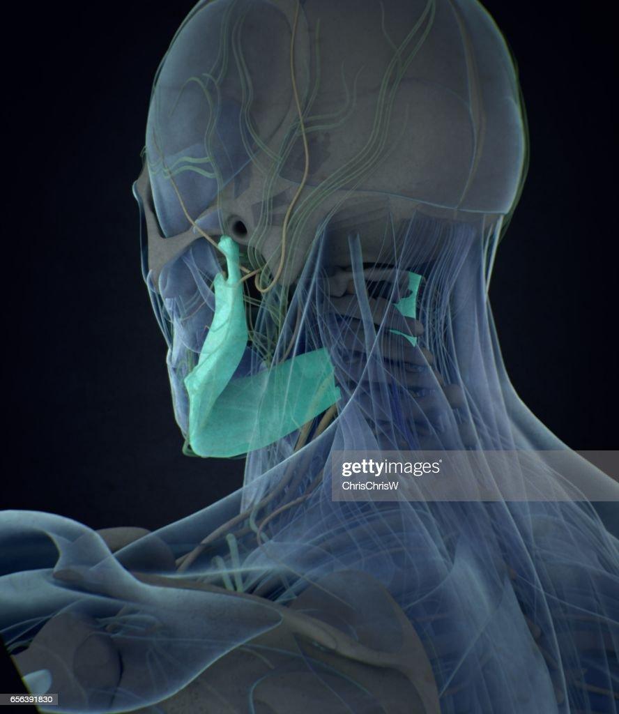 Jawbone Human Anatomy 3d Illustration Stock Photo Getty Images