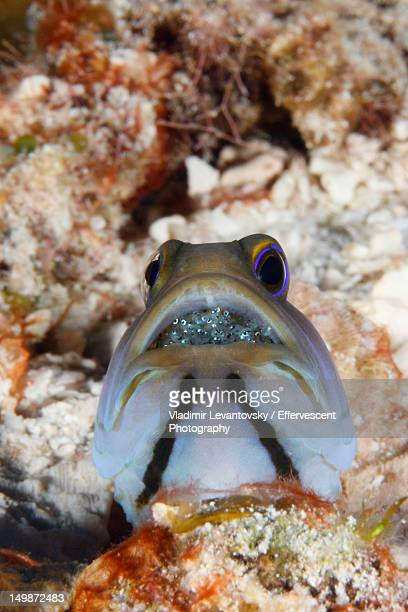 jawfish male with mouthful of eggs - male animal stock pictures, royalty-free photos & images