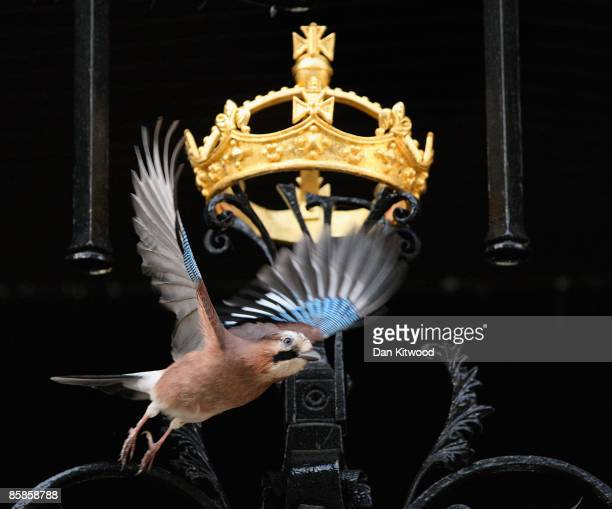 Jay flies into Downing Street from its nest situated in the roof of the walkway that links Downing Street and The Foreign Office on April 8 2009 in...