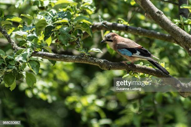 jay in orchard
