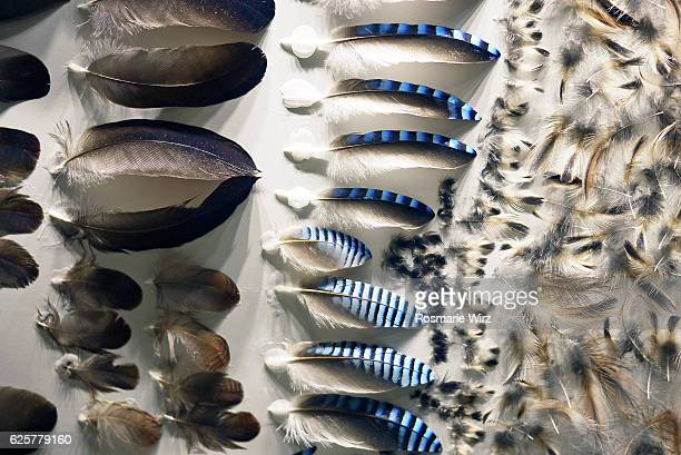 Jay's feathers, different shapes, sizes and qualities