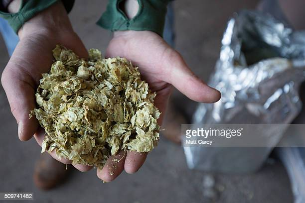 Jazz Tupman holds up some hops which are used to brew beer at the Wild Beer Co brewery at Lower Westcombe Farm on February 11 2016 near Evercreech...