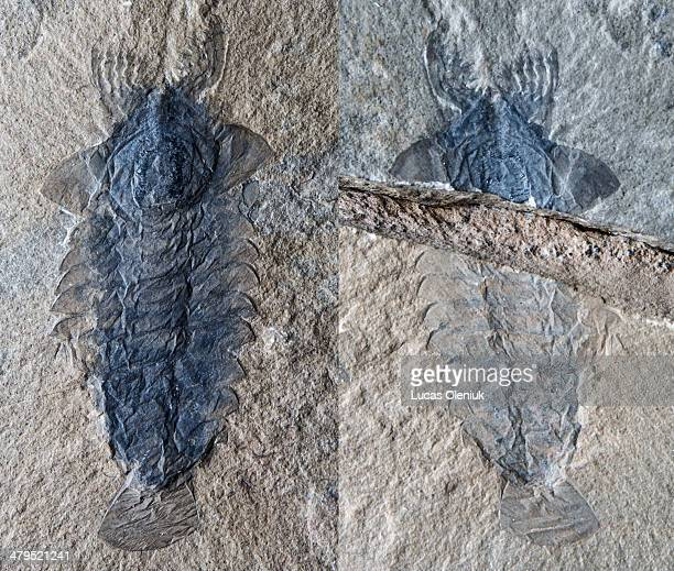 Jean-Bernard Caron - Discovered by the Royal Ontario Museum on Mount Stephen, British Columbia, this spectacular fossil is an ancient member of the...