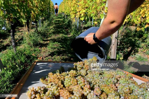 JeanFrédéric Hugel places Riesling grapes on drying mats as his family selectively harvests the iconic Alsace grapes to make their once in a...