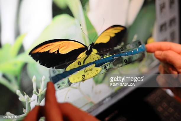 JeanMarc Sor a French entomologist who crossed the globe to take pictures of a giant rare butterfly on an Indonesian island measures the size of this...