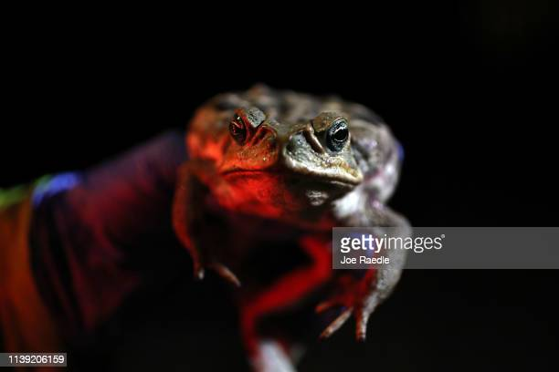 Jeannine Tilford of Toad Busters a toad removal company based in South Florida holds a poisonous cane toad also known as bufos that she caught near a...