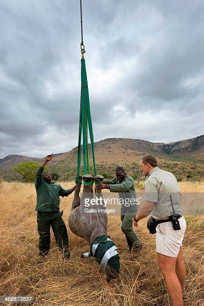 Jed Bird supervises as a black rhino is airlifted to a new habitat on October 8 in South Africa The Black Rhino Range Expansion Project is focused on...