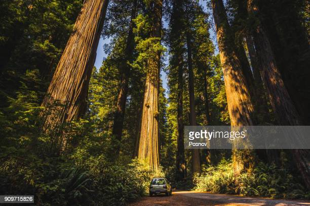jedediah smith redwoods - redwood tree stock photos and pictures