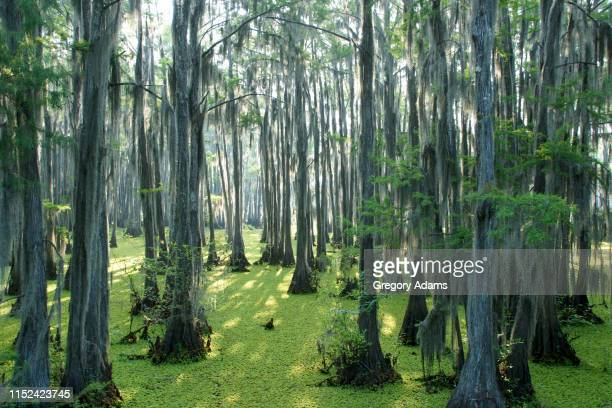 jeems bayou in eastern texas texas - epiphyte stock pictures, royalty-free photos & images