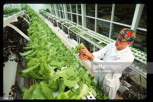 Jeff Gundling holds butter lettuce out of its growing tray with roots exposed in the hydroponic garden at the Fiesta Mart supermarket July 7 1993 in...