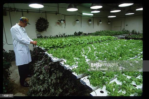 Jeff Gundling moves trays of lettuce from the seedling room to the garden in the hydroponic garden at the Fiesta Mart supermarket July 7 1993 in...