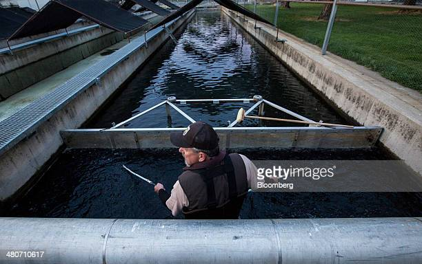 Jeff Laurie an employee of the US Fish and Wildlife Service herds Chinook salmon towards a pipe to be loaded into a tanker truck for transport in...