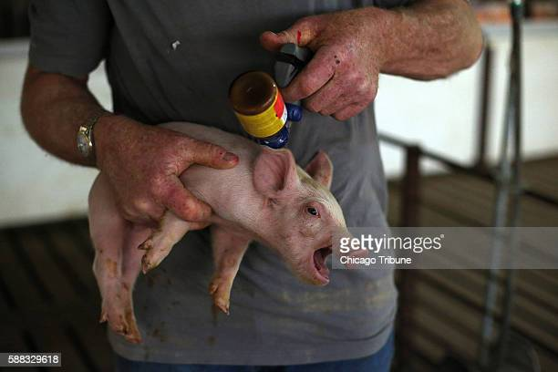 Jeff Seabaugh gives a struggling piglet a 'booster shot' of antibiotic at his Montgomery County Ill growing operation Seabaugh raises the animals...