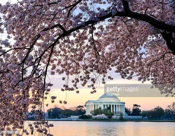 Monumento Jefferson Memorial enmarcado por los cerezos en flor al amanecer