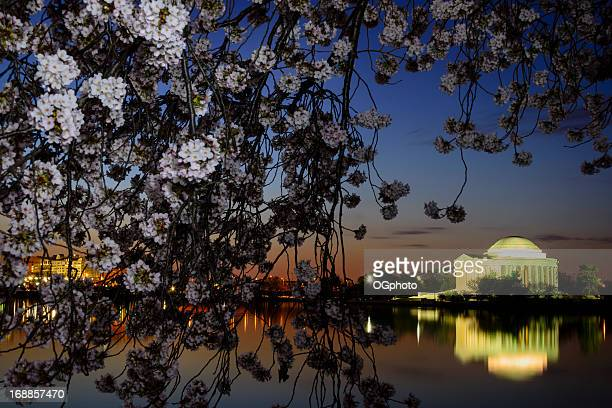 jefferson memorial framed by cherry blossoms at dawn - ogphoto stock pictures, royalty-free photos & images
