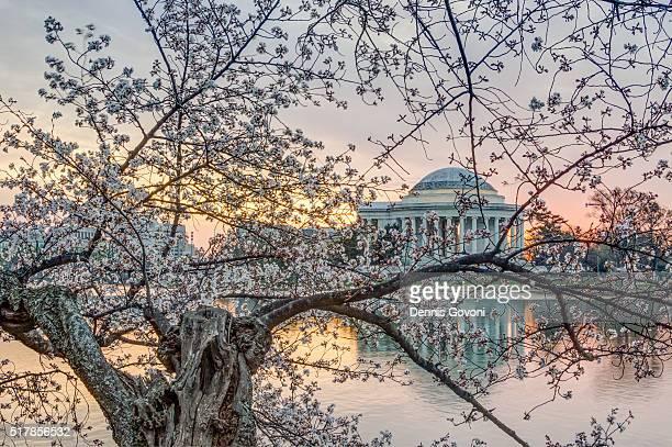 jefferson memorial through a cherry tree - アメリカ大西洋岸中部 ストックフォトと画像