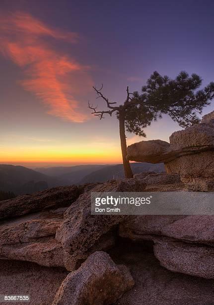 jeffrey pine on sentinnel dome - don smith foto e immagini stock