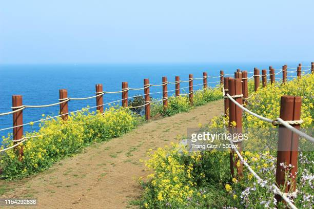 jeju full of canola - jeju stock photos and pictures