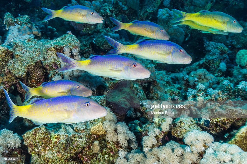 Jellow Mullet swimming close to Coral Reef : Stock Photo