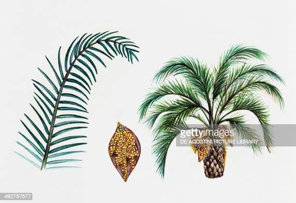 Jelly palm Arecaceae tree leaf and flowers illustration