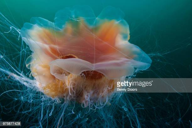 jelly - lions mane jellyfish stock pictures, royalty-free photos & images