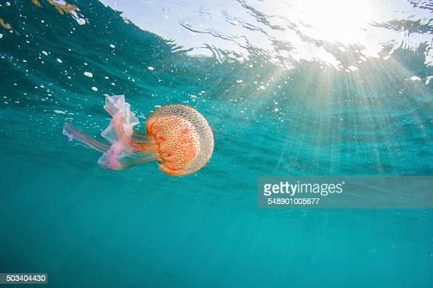 Jellyfish and sunrays