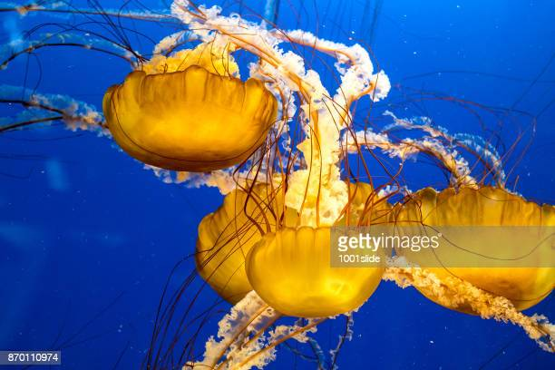 jellyfish floating in water - cnidarian stock photos and pictures