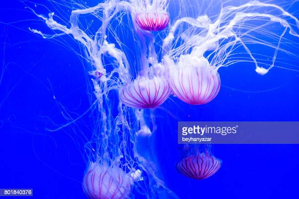 jellyfish in aquarium. - phosphorescence stock pictures, royalty-free photos & images