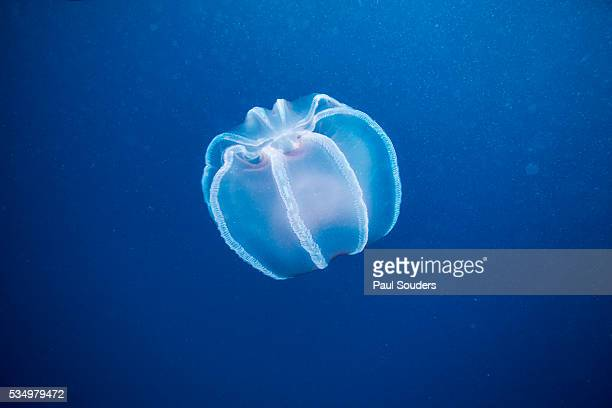 jellyfish in diego ramirez islands, chile - invertebrate stock pictures, royalty-free photos & images