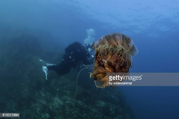 jellyfish in greenland - lions mane jellyfish stock pictures, royalty-free photos & images