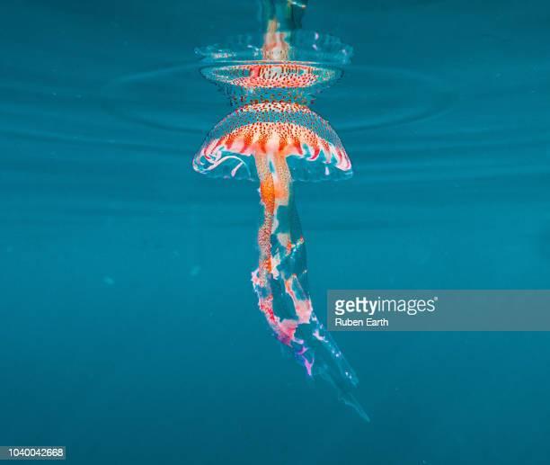 jellyfish in the mediterranean (pelagia noctiluca) - vida marítima fotografías e imágenes de stock