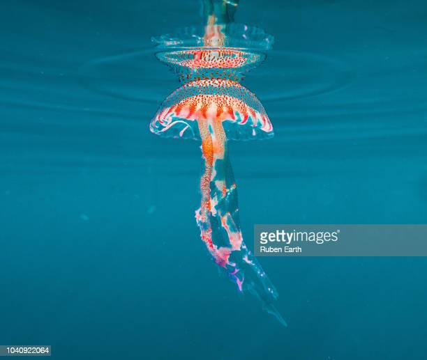jellyfish in the mediterranean (pelagia noctiluca) - jellyfish stock pictures, royalty-free photos & images