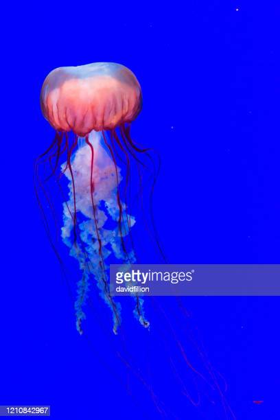 jellyfish in water on a blue background - sea nettle jellyfish stock pictures, royalty-free photos & images