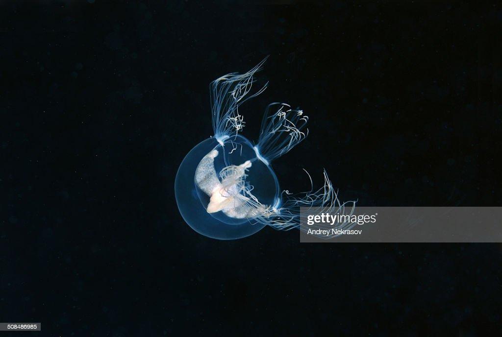 Jellyfish Nemopsis dofleini -Nemopsis dofleini Maas-, Japan Sea, Primorsky Krai, Russian Federation, Far East : Stock Photo