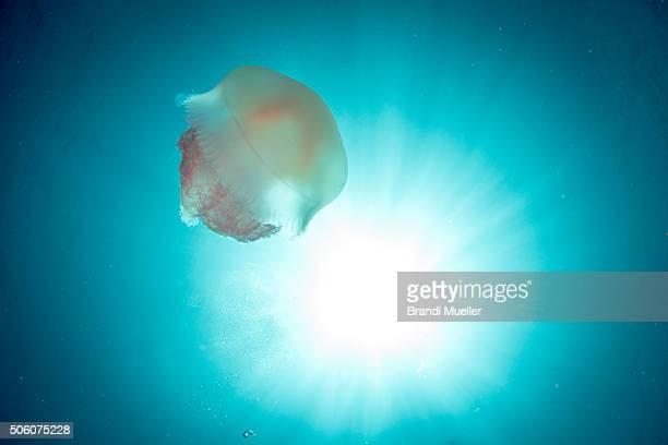 jellyfish on the fujikawa maru - lagon chuuk photos et images de collection