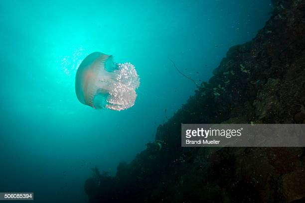 jellyfish on the heian maru - lagon chuuk photos et images de collection