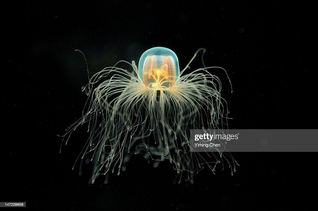 Jellyfish : Stock Photo