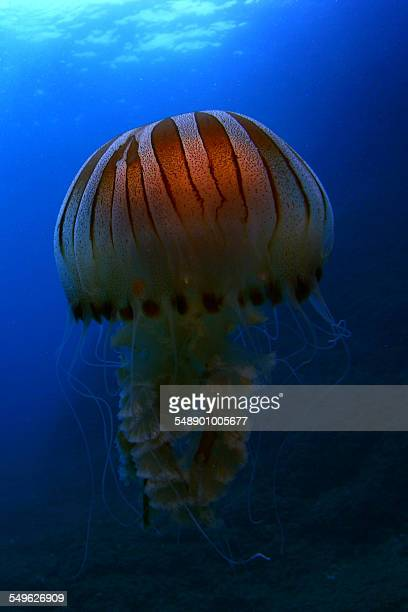 jellyfish - sea nettle jellyfish stock pictures, royalty-free photos & images
