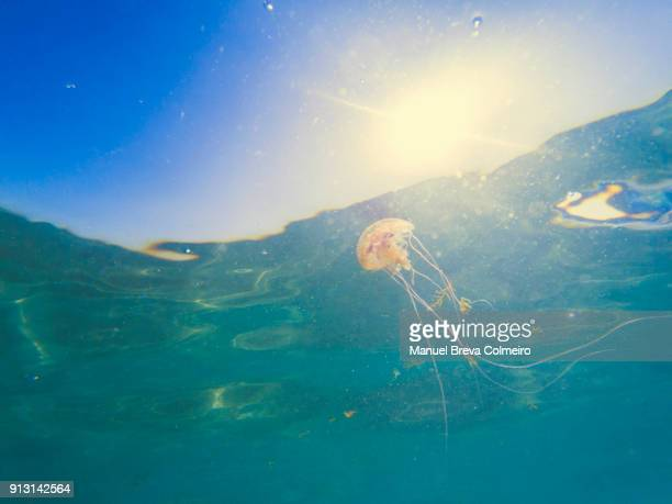 jellyfish - 食物連鎖 ストックフォトと画像