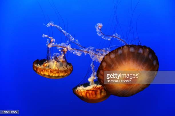 jellyfish - christina felschen - fotografias e filmes do acervo