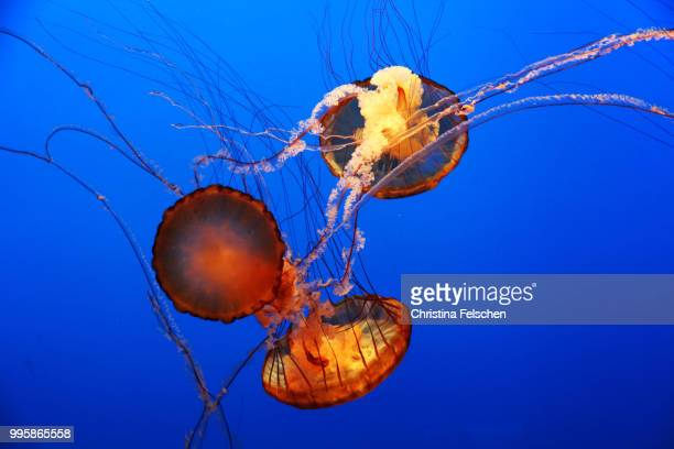 jellyfish - christina felschen stock pictures, royalty-free photos & images