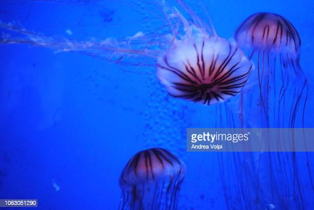 jellyfish world / acquario - upside down jellyfish stock pictures, royalty-free photos & images